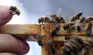 فروش زنبورعسل در ایران