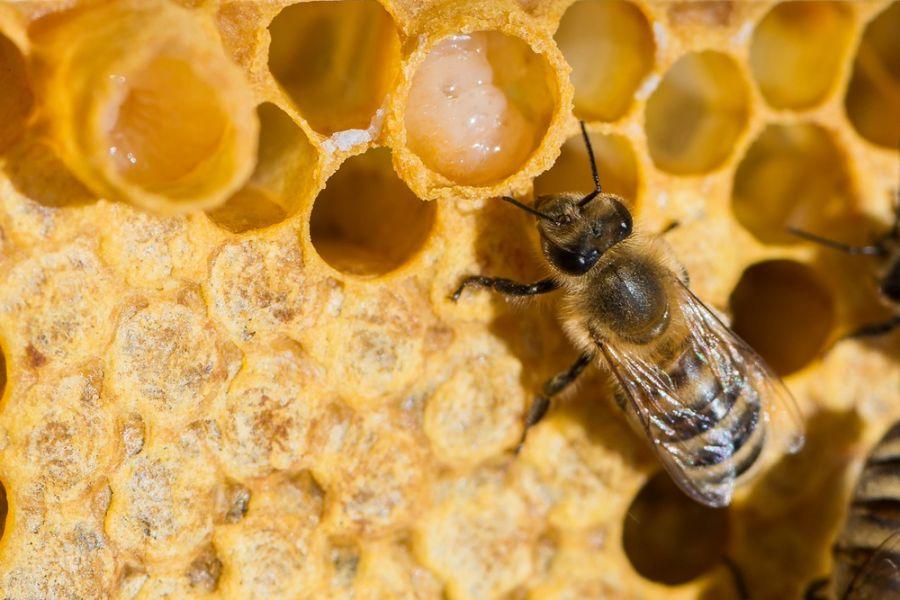 ارتباط میان زنبور و ژل رویال