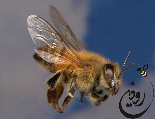 قیمت ملکه زنبور عسل در فروشگاه رودین شاپ