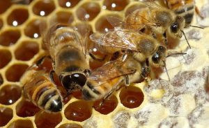 فروش داروهای زنبورعسل