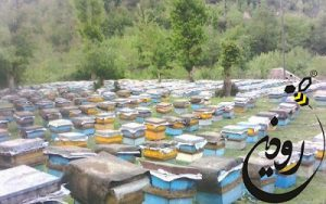 زنبورعسل نژاد قفقازی