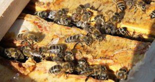 بهترین زنبورعسل قفقازی