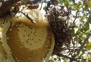 راه تشخیص عسل وحشی اصل