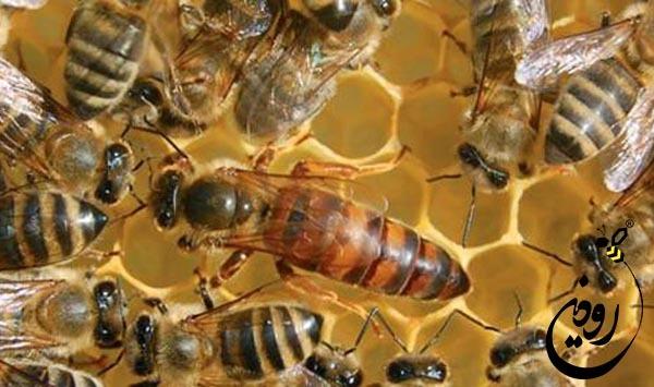 ملکه زنبورعسل