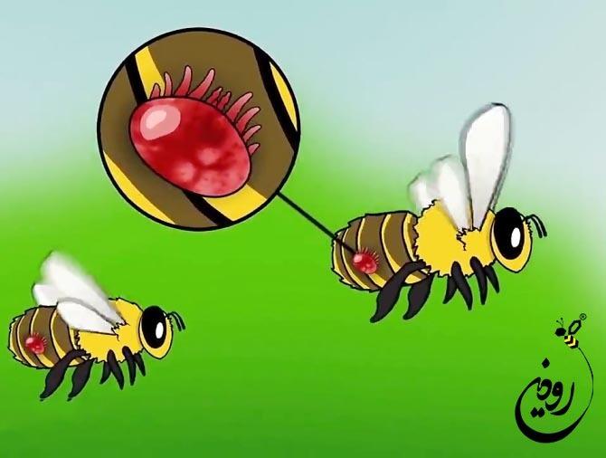 کنه واروا زنبورعسل