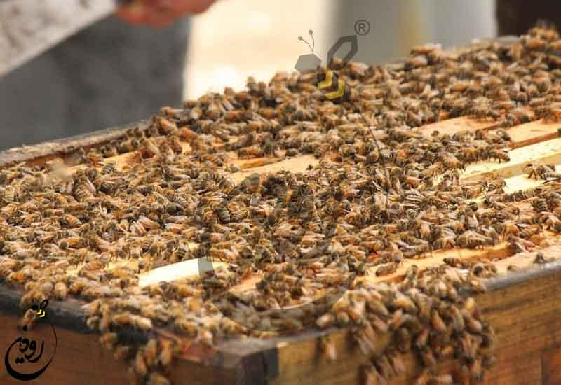 آموزش پرورش زنبورعسل