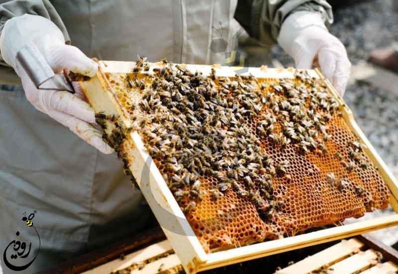 خرید کلنی زنبورعسل