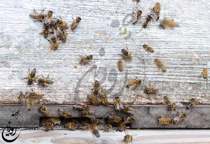 خرید و فروش زنبورعسل